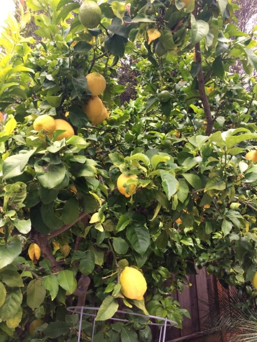 lemon tree in our backyard