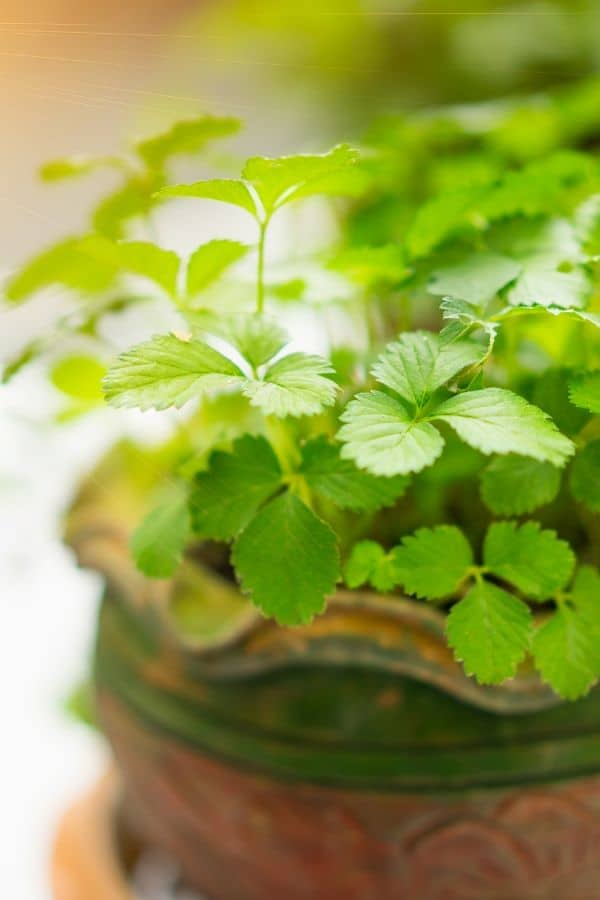 cilantro growing in a pot