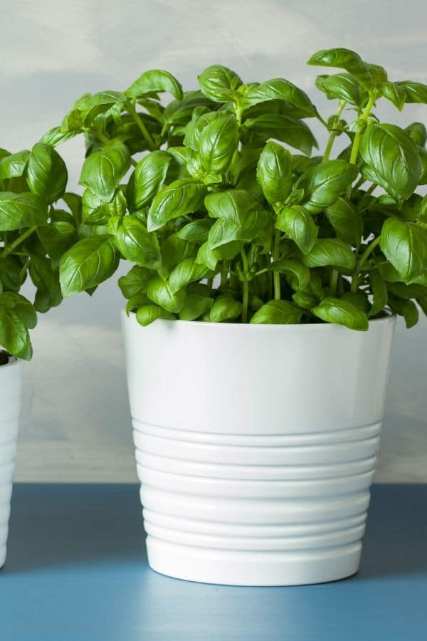 growing fresh basil in a white pail