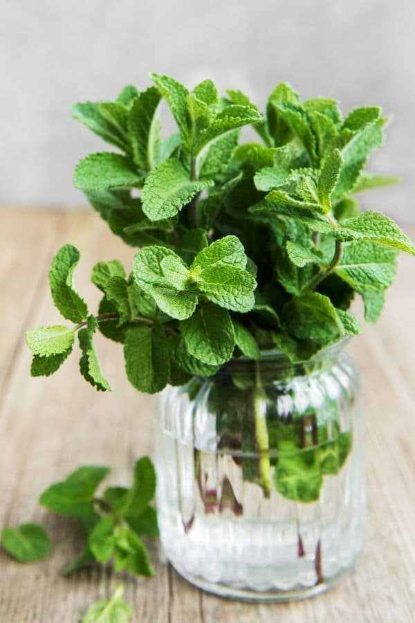 fresh mint in a jar full of water