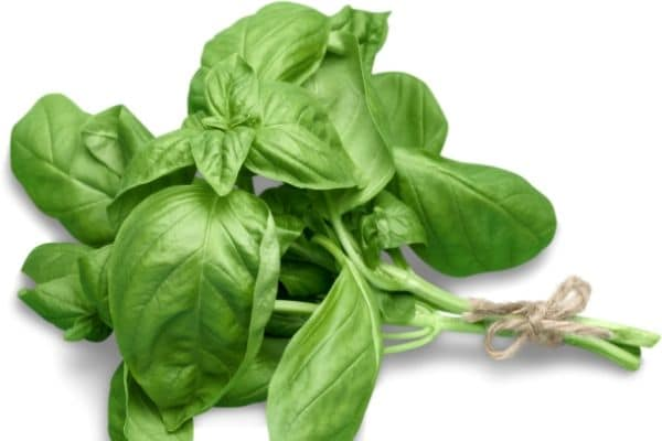 a bunch of fresh basil tied with a string