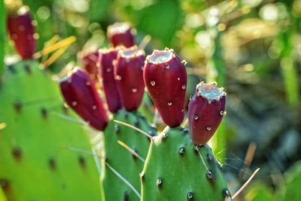 prickly pear cactus with cactus pears on top